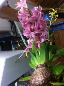 aquaponic hyacinthus 